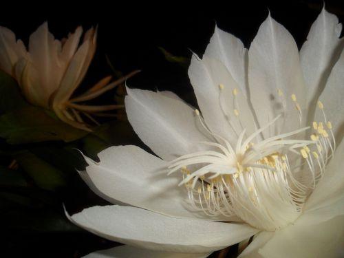 nakties karalienė,balta gėlė,kaktusas,pitahaya
