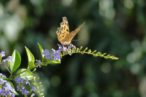 Quentin Chong,drugelis,auksinė rasos gėlė