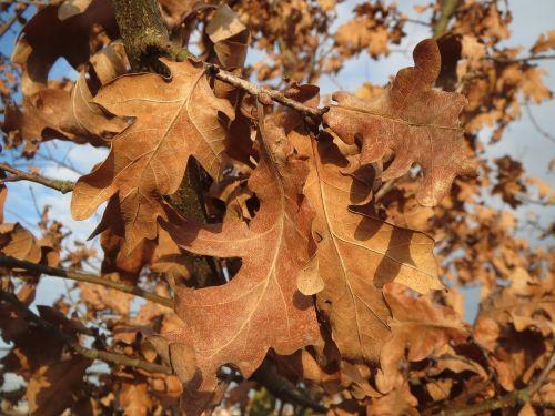 quercus robur,angliškas ąžuolas,ąžuolas,prancūziškas ąžuolas,lapai,nudrus,išblukęs,ruduo,flora,botanika,augalas,medis