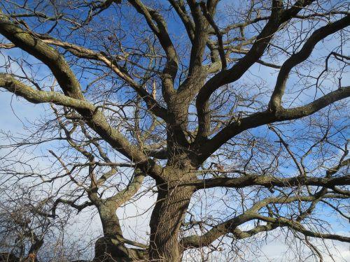 quercus robur,angliškas ąžuolas,ąžuolas,prancūziškas ąžuolas,bagažinė,filialai,medis,flora,augalas,botanika