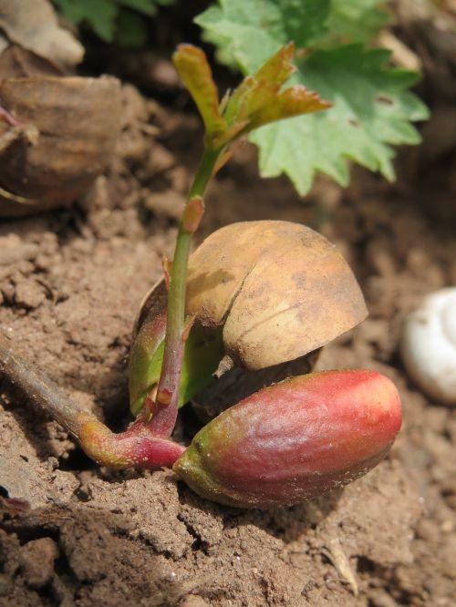 quercus robur,angliškas ąžuolas,ąžuolas,prancūziškas ąžuolas,sodinukai,sodinukai,dygsta,flora,augalas,botanika