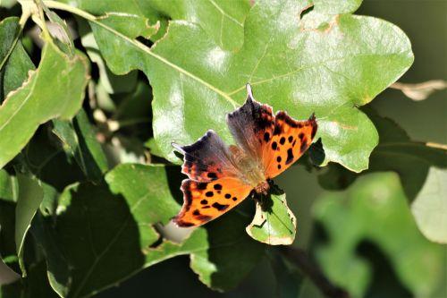 gamta, laukinė gamta, gyvūnai, vabzdžiai, drugelis, klausimas & nbsp, ženklas & nbsp, drugelis, oranžinė & nbsp, juoda & nbsp, drugelis, juodas & nbsp, oranžinis & nbsp, drugelis, sparnai, drugelis & nbsp, sparnai, sparnai & nbsp, atidaryti, sėdi, žalios spalvos & nbsp, lapai, klausimo ženklas drugelis ant lapų