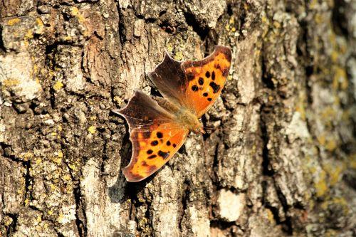 gamta, laukinė gamta, gyvūnai, vabzdžiai, drugelis, klausimas & nbsp, ženklas, klausimas & nbsp, ženklas & nbsp, drugelis, klijuoti, medis, žievė, Iš arti, sparnai & nbsp, plitimą, nugaros ir nbsp, peržiūra, klausimo ženklas drugelis ant medžio