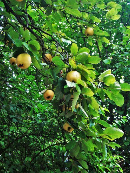Quittenbaum,vaisiai,metų laikas,prinokę,cydonia oblonga,vaismedis,medis,gamta,vaisiai,sveikas,filialas,geltona,ruduo,vasaros pabaigoje,kernobstgewaechs,lapai,vitaminai,vitamino C,vaisių prinokę,sodas,parkas,botanika,flora,botanikos,subrendęs,prinokę vaisiai