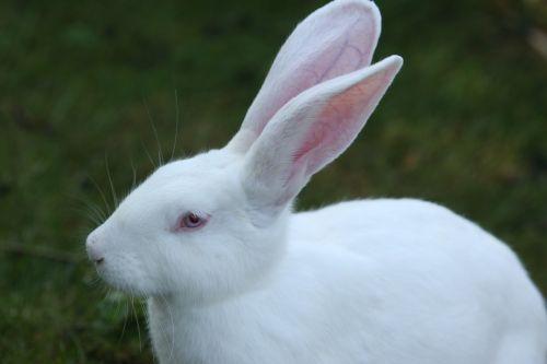 triušis,balta,ausis didelis,humaniškas požiūris,kiškis,raudonos akys,ilgai ausis