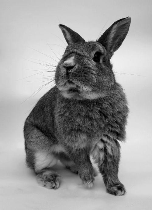triušis,mielas,portretas,graužikas,mažas,gyvūnų pasaulis,naminis gyvūnėlis,juoda ir balta