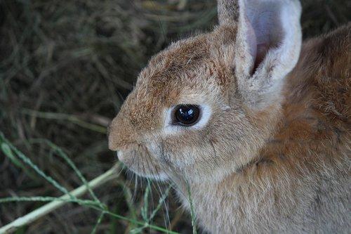 triušis, gyvūnas, mielas, laukinių, biologija, žinduoliai, baseinas, augintinė, namo tam,, apvalios akys, juoda akis, mielas