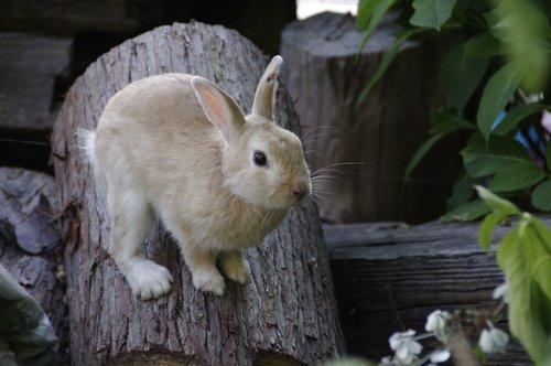triušis, Bunny, gyvūnas, kiškiai, natūralus, Laukiniai gyvūnai, laukinis gyvūnas