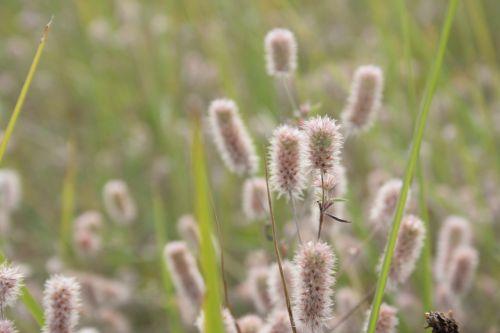 triušio dobilas,ariamasis dobilas,pelių dobilas,trifolium arvense,aštraus gėlė,Uždaryti,pieva