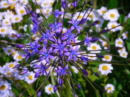 radialinis,gėlės,violetinė,žalias,Daisy,balta,huan,antomasako,horizontalus horizontalus kelias,mokesčio stotis,geliu lova,Jokohama,kanagawa japan,Japonija,žolė,lapai