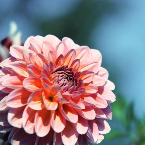 raghavendra,violetinė,purpurinė gėlė,žiedas,žydėti,augalas,gėlė violetinė,raudona violetinė,violetinė,vasara,gėlė,gėlių sodas,spiny gėlė,žydėti,purpurinės gėlės,violetinė gėlė,žiedlapiai