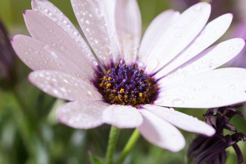 makro,osteospermumo ecklonis,viršukalnės krepšys,bornholm marguerite,balta,violetinė,marguerite,žiedas,žydėti,gėlė,gamta,augalas,žydėti,Uždaryti,šlapias,lašas vandens