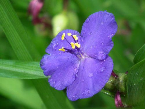 liūtys,purpurinė gėlė,augalas,gėlė,lašas vandens,Uždaryti,violetinė