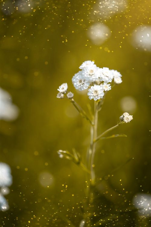 ranunculus aconitifolius,eisenhut-crowfoot,gėlė,gėlės,balta,baltos gėlės,augalas,gamta,sodas,Sode,Uždaryti,vasara,gėlės fotografija,mažos gėlės,hahnenfußgewächs