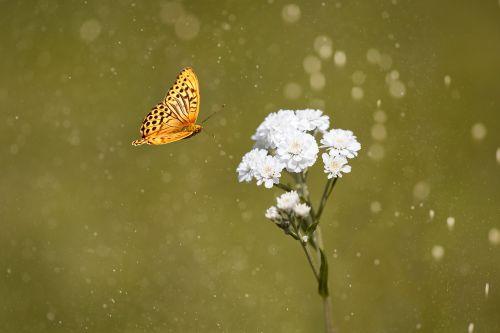 ranunculus aconitifolius,eisenhut-crowfoot,gėlė,gėlės,balta,baltos gėlės,augalas,gamta,sodas,Sode,Uždaryti,vasara,gėlės fotografija,mažos gėlės,hahnenfußgewächs,drugelis,skrydžio vabzdys,oranžinė