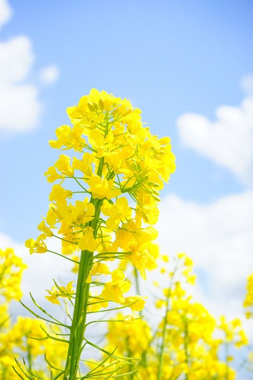 rapsų žiedas,žiedynas,aliejiniai rapsai,geltona,gėlės,augalas,gamta,kraštovaizdis,vasara,pavasaris,gėlių sritis,rapsų žiedai,rapsų augalai,Žemdirbystė,pasėliai,brassica napus,pakartojimai,lewat,kryžmažiški augalai,brassicaceae