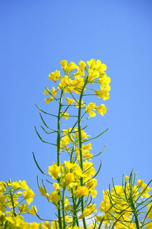 rapsų žiedai,žiedynas,aliejiniai rapsai,geltona,gėlės,augalas,gamta,kraštovaizdis,vasara,rapsų žiedas,pavasaris,gėlių sritis,rapsų augalai,Žemdirbystė,pasėliai,brassica napus,pakartojimai,lewat,kryžmažiški augalai,brassicaceae