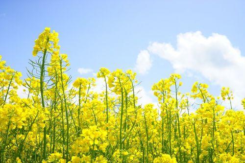 rapsų žiedai,žiedynas,aliejiniai rapsai,geltona,gėlės,augalas,gamta,kraštovaizdis,vasara,rapsų žiedas,pavasaris,gėlių sritis,rapsų augalai,Žemdirbystė,pasėliai,stiebas,lapai,brassica napus,pakartojimai,lewat,kryžmažiški augalai,brassicaceae