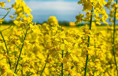 rapsų, geltona, gėlė, ariamoji žemdirbystė, Žemdirbystė, kraštovaizdis
