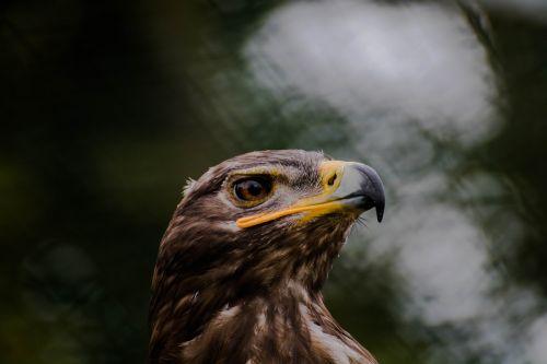 raptoras,gyvūnas,laukinis gyvūnas,laukiniai gyvūnai,plėšrusis paukštis,falcon,adler,buzzard,gamta,paukštis,zoologijos sodas,paukščio parkas,laukinis paukštis,ruda,sąskaitą,Uždaryti,elegantiškas,heraldinis gyvūnas,portretas,gyvūnų portretas,gyvūnų pasaulis,plumėjimas,plunksna