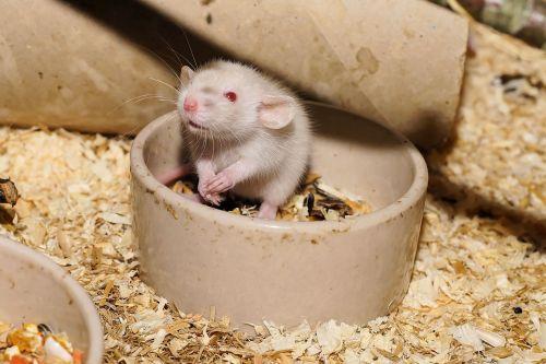 žiurkė,žiurkė,mielas,valgyti,saldus,gyvūnas,gyvūnų pasaulis,gyvuliai,mažas,purus