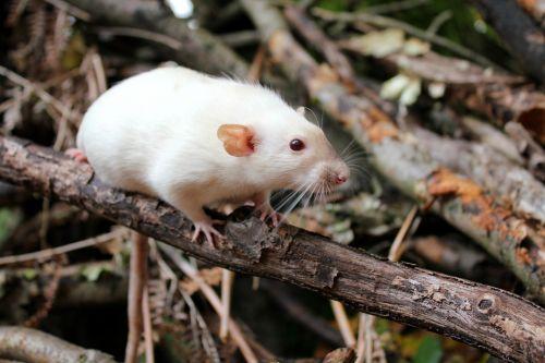 žiurkė,naminis gyvūnėlis,mielas,graužikas,dumbo žiurkė,miškas,filialai,linksma,ūsai