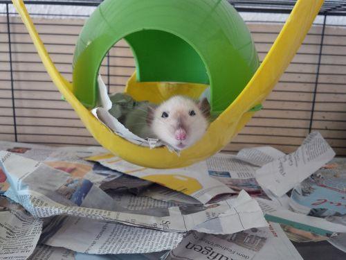 žiurkė,spalvos žiurkė,nager,mažas gyvūnas