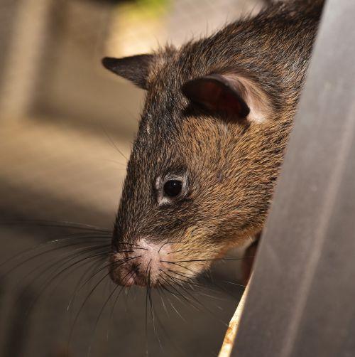 žiurkė,milžiniška žiurkė,gambian žiurkė,milžinas žiurkėnas žiurkėnas,Cricetomys gambianus,graužikas,kailis,mielas,žinduolis,naminis gyvūnėlis,Uždaryti,galva,akis,portretas
