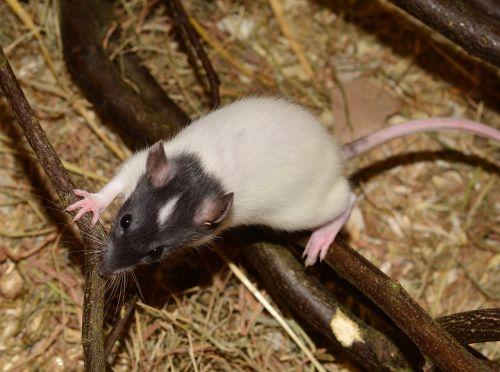 žiurkė,gyvūnas,graužikas,vaizdas,spalvos žiurkė,rattus norvegicus forma domestica