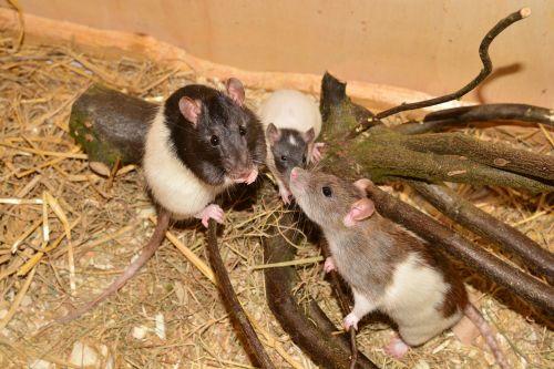 žiurkė,gyvūnas,graužikas,vaizdas,spalvos žiurkė,rattus norvegicus forma domestica,šeima