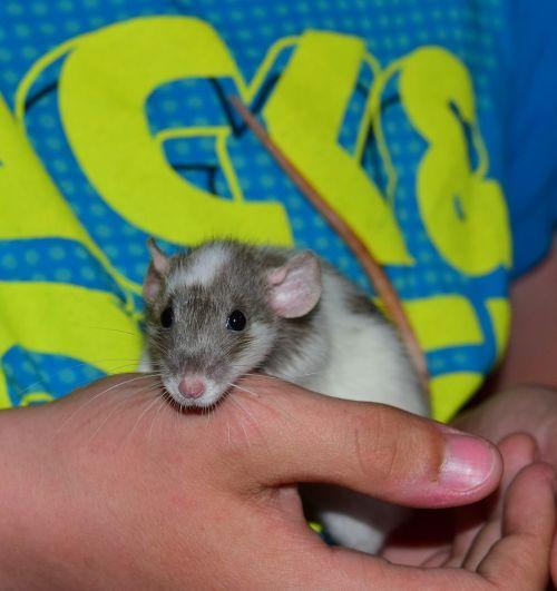 žiurkė,spalvos žiurkė,gyvūnas,graužikas,ausys,galva,plaukai,žinduolis,kailis