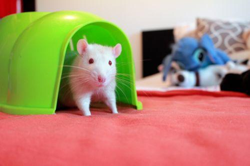 žiurkė namo,albino žiurkės,žiurkių namas,balta žiurkė,žiurkių raudonų akių,suaugusiųjų žiurkė albino,žiurkė