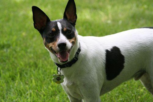 žiurkių terjeras,šuo,šunys,atidus,paklusnus,vidaus,mielas,stovintis,budrus