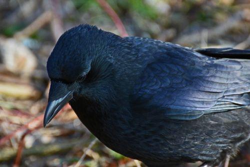 Varnas,paukštis,juoda,corvidae,varnas paukštis,juoda paukštis,gamta,giesmininkas,gyvūnas,sąskaitą,Uždaryti,bendras varnas,corvus corax,galva,portretas,plunksna,gyvūnų portretas,laukinės gamtos fotografija,plumėjimas