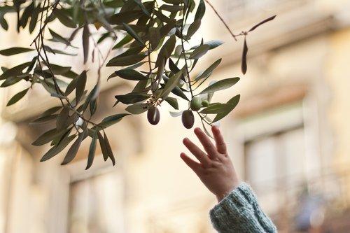 pasiekti, pasiekti už alyvmedžio šakele, alyvuogių, filialas, Ispanija, Ispanijos, Viduržemio jūros, italų, Portugalija, Portugalų, alyvuogės, vaikai, vaikas, ranka, užkandžių, sveikas