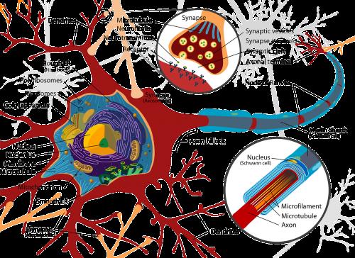 raudona,mokslas,diagrama,ląstelė,neuronas,biologija,užbaigti,kraujas,paženklinta etikete,nervas,paženklinta etikete,užbaigti,nemokama vektorinė grafika