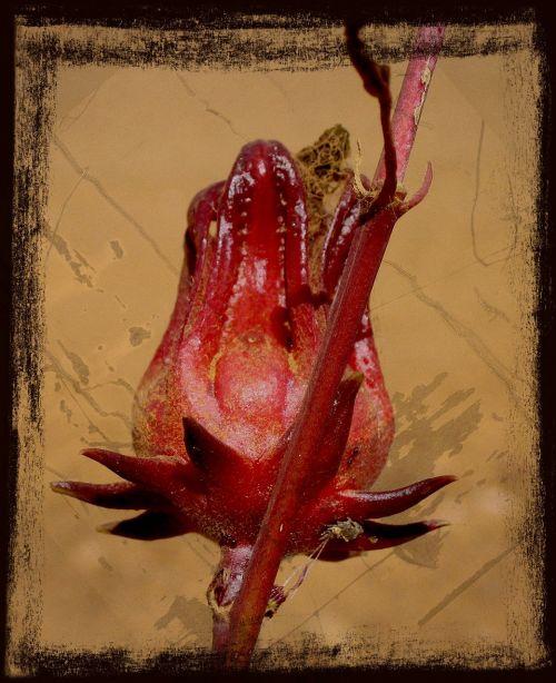 raudona,gėlė,australia,gamta,augalas,įrėminti,tekstūra