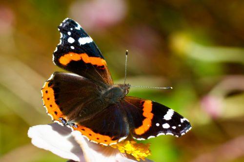 gyvūnas, juoda, drugelis, gėlė, vabzdys, vabzdžiai, nymphalidae, oranžinė, lauke, raudona & nbsp, admirola, vanessa & nbsp, atalanta, balta, laukinė gamta, sparnas, sparnai, raudona admirolo drugelis