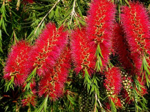gėlė, gėlės, sodas, sodai, augalas, augalai, sodininkystė, sodininkystė, gamta, flora, raudona ir žalia flora