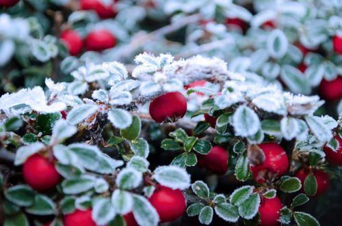 Žiema,  Filialas,  Sniegas,  Fonas,  Sezonai,  Gamta,  Makro,  Sušaldyta,  Balta,  Ledas,  Uogos,  Raudona,  Šaltis,  Vaisiai,  Uogos,  Raudonos Uogos