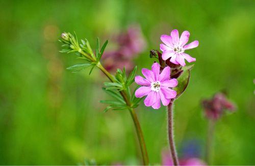 raudona kampanija,silene dioica,raudona laimikis,laukinė gėlė,žiedas,žydėti,gėlė,augalas,violetinė,stovykla,purpurinė gėlė,pavasaris,aštraus gėlė,laukinis augalas,žydėti,gvazdikų šeima