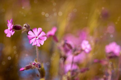raudona kampanija,gėlė,rožinis,rožinė gėlė,žiedas,žydėti,aštraus gėlė,gamta,natūrali veja,laukinis augalas,augalas,stovykla,laukinė gėlė,žydėti,Uždaryti,pavasaris,raudona waldnelke,raudona laimikis,raudonasis melandriumas,Viešpaties dievo kraujas,dienos raudona kampanija,silene dioica,flora,gėlių fotografija