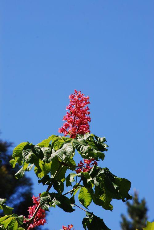 raudona kaštonų gėlė,gėlė,raudona,raudona gėlė,mėlynas dangus,sodas,žiedas,pavasaris,žiedlapis,žydėti,šviežumas,natūralus,gėlių