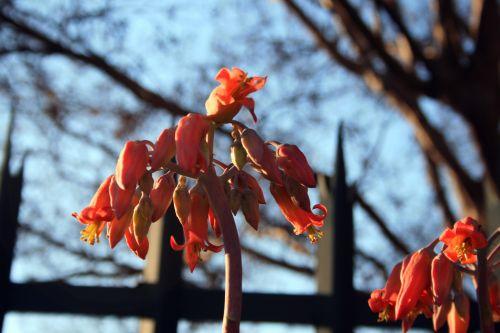 gėlė, raudona, kiaulės ausis, sultingas, raudona cotyledon sultinga gėlė