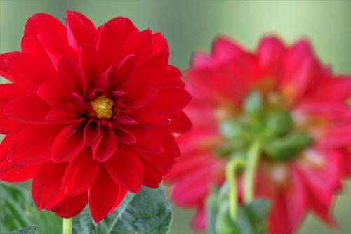 gamta, augalai, gėlės, raudona & nbsp, gėlė, dahlia, raudona & nbsp, dahlia, raudona & nbsp, žiedlapiai, žydėti, backside, neryškus, fonas, kambarys & nbsp, už & nbsp, tekstą, sienos, raudona dahlia fone