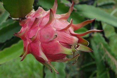 raudonas drakonas,pitaya,Drakono vaisius,vaisiai,kaktusai,raudona