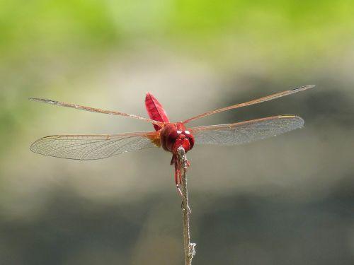 raudona lazda,pelkė,stiebas,lazda,sparnuotas vabzdys,eritrozės kroketemas
