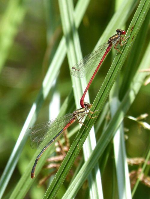 raudona lazda,damselfly,lapai,pelkė,pora,ceriagrion tenellum,vabzdžių veisimas,poravimosi vabzdžių,poravimas