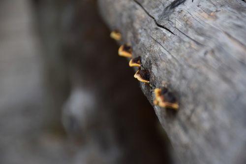 raudonas kraštas ant medžio kempinės,grybai,fomitopsis pinicola,polipas-oralinis,gentis,vaismedžiai,makro,miškas,Uždaryti,grybų gentis,netinkami žmonėms vartoti