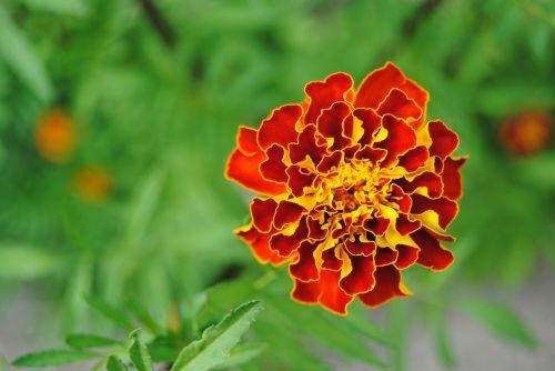 raudona gėlė,geltona gėlė,oranžinė gėlė,ugnies gėlė,marigoldas,Iš arti,flora,graži gėlė,žydi,augalas,vasara,žiedlapiai